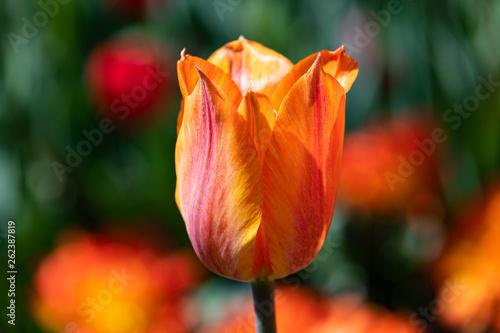 Photo  Flame Tulip