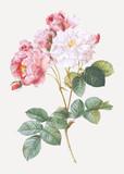 Pink damskus rose - 262394862