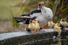 Muscovy Ducklings Lined Up On The Edge Of A Pond With Mother Duck Watching Cautiously