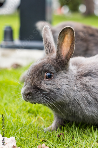 Fotografie, Obraz  close up portrait of cute and curious  grey rabbit resting on green grasses in the park staring at you