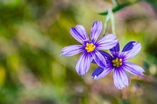 Close Up Of Blue-Eyed Grass (Sisyrinchium Bellum) Wildflowers Blooming In Spring, South San Francisco Bay Area, California