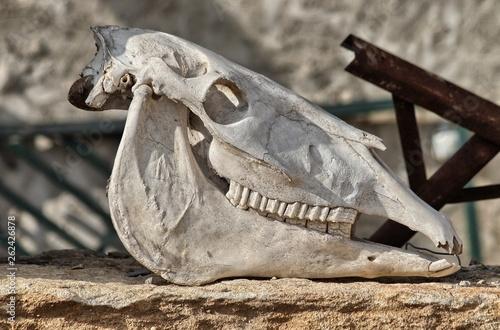 Cranio di cavallo Fototapet