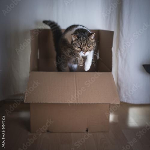 Fototapeta tabby british shorthair cat jumping out of a cardboard box