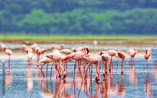 Obraz A variety of pink flamingos, Kenya national park. - fototapety do salonu