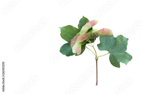 Field maple (Acer campestre) branch with leaves and fruits isolated on a white background Wallpaper Mural