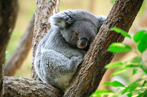 Garden Poster Koala コアラ コアラのアップ コアラの親子