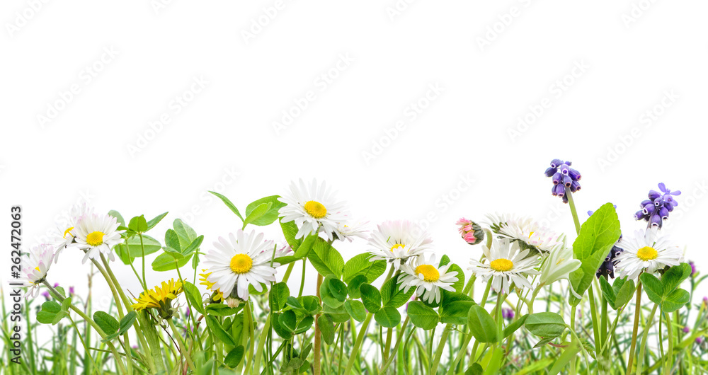 Fototapety, obrazy: spring grass and daisy wildflowers isolated background