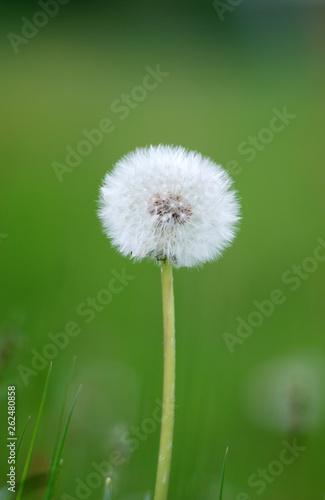 Photo  Dandelion flowers isolated on green