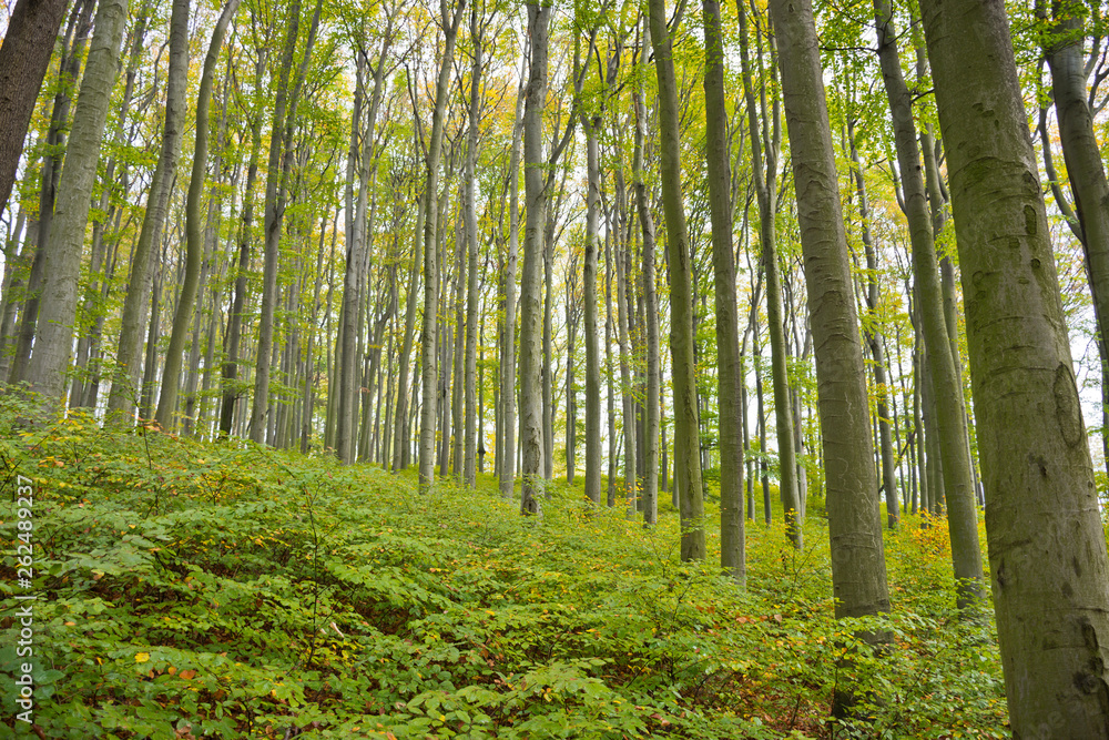 Beech forest in the Vienna Woods in autumn with comprehensive natural regeneration in the forest stand.