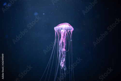glowing jellyfish chrysaora pacifica underwater Canvas Print
