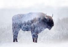 Double Exposure Of A Wild Biso...