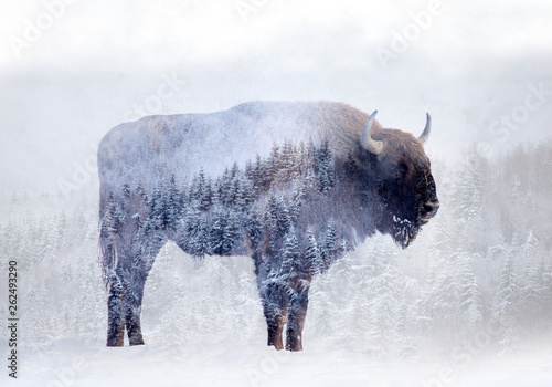 Spoed Foto op Canvas Buffel Double exposure of a wild bison, buffalo and a pine forest