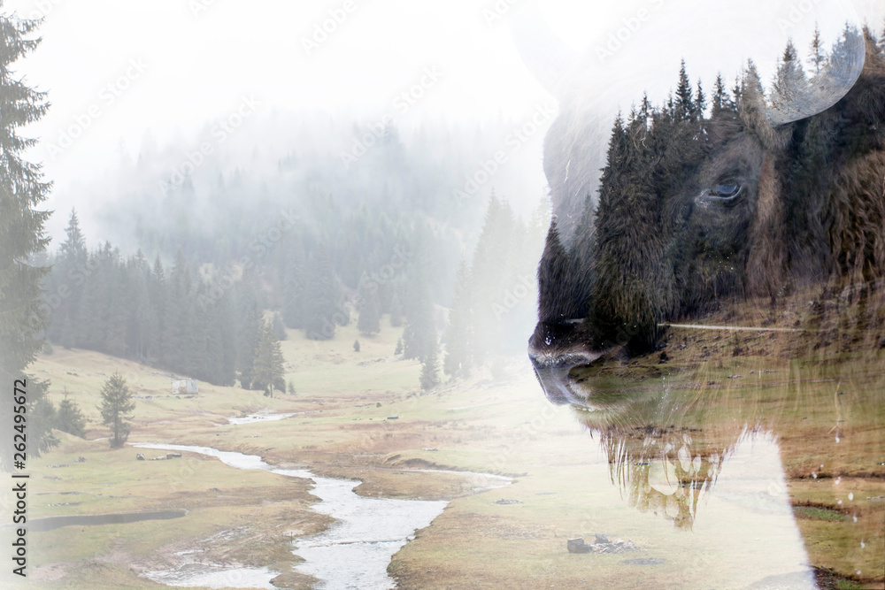 Fototapeta Double exposure of a wild bison, buffalo and a pine forest