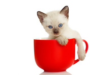 Kitten In A Cup. Little Cute Cat On A White Background. Fluffy Kitty Climbed Into The Cup. Funny Mimic Pet.