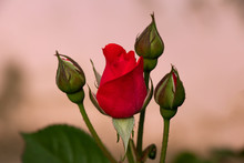 Red Rose With Rosebud On Blury Background