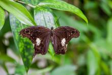 Malayan Owl Butterfly (Neorina Lowii Neophyta)