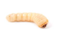 Larva Bark Beetle (Scolytinae)...