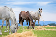 Group Of Young Horses Eating Hay On Pasture In Summer