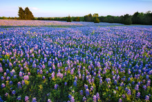 Bluebonnet Filled Meadow Near Ennis, Texas