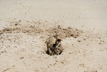 Ghost Crab Digging Hole On The...