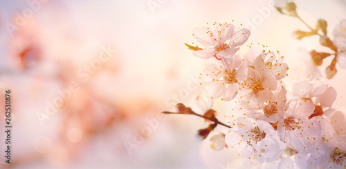 Spring border or background art with pink blossom blooming tree