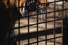 Tiger In Cage Who Loses Freedo...