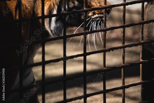 Fototapeta  Tiger in cage