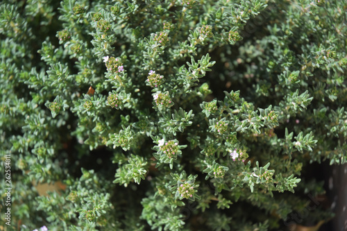 Cuadros en Lienzo Pied de thym, herbe aromatique.