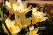 Yellow Crocus In The Garden