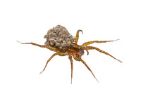 Female Wolf-spider, Trochosa With Baby Spiders On Her Back, Macro Photo On White Background,selective Focus.Saved With Clipping Path.