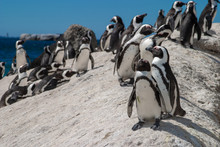 African Penguin Cape Town Waterfront Parks And Reserves Of South Africa