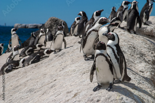 Obraz na plátně african penguin cape town waterfront parks and reserves of south africa