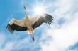 Weißer Storch fliegt in blauem Himmel mit der Sonne im Rücken