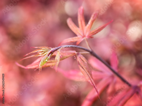 Red in Red - Japanese maple that I shoot in Fort Worth Botanic garden, a very nice to visit in all seasons Wallpaper Mural