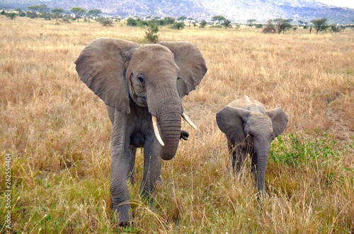 Mother and child elephant walking in Serengeti