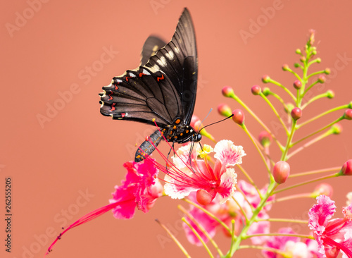 A Golden Rimmed Swallowtail butterfly feeding on the Barbados Pride flower.