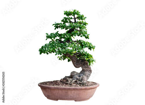 Wall Murals Bonsai Bonsai tree isolated on white background. Its shrub is grown in a pot or ornamental tree in the garden.