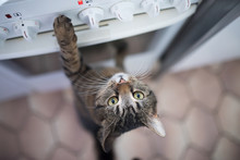 Tabby Shorthair Cat Reaching For Buttons On The Oven In The Kitchen