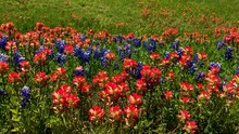 Early Springtime In Texas, Wildflowers Blanket The Highways And Rural Roads Of Texas.  When Beautiful Blue Bonnets And Indian Paintbrushes Bloom. Segment 3 Of 3 Slow Motion, Up To 4K 30fps