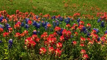 Early Springtime In Texas, Wildflowers Blanket The Highways And Rural Roads Of Texas.  When Beautiful Blue Bonnets And Indian Paintbrushes Bloom. Segment 1 Of 3 Slow Motion, Up To 4K 30fps