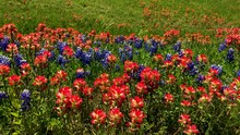 Early Springtime In Texas, Wildflowers Blanket The Highways And Rural Roads Of Texas.  When Beautiful Blue Bonnets And Indian Paintbrushes Bloom. Segment 2 Of 3 Slow Motion, Up To 4K 30fps