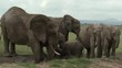 African Elephants Loxodonta africana spraying water from a ditch on body