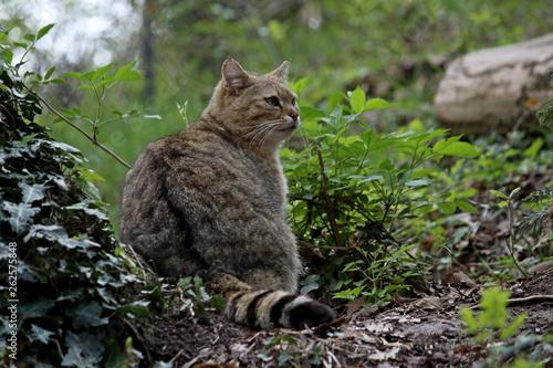 Photo  a wild cat
