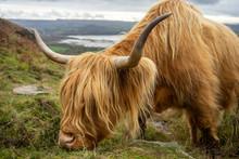 Highland Cow Grazing On Grass In Scotland