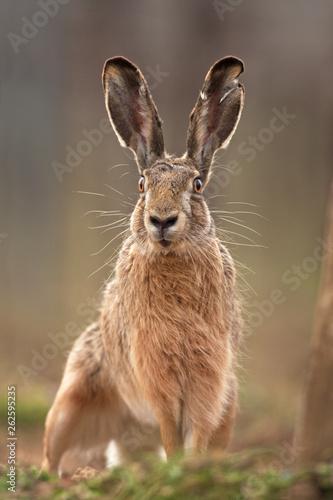 Fotomural European hare, lepus europaeus