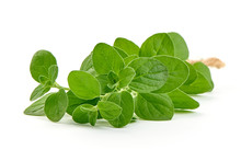 Fesh Sweet Marjoram Herb, Close-up, Isolated On White Background