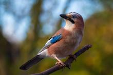 Eurasian Jay Bird (Garrulus Glandarius) Perched On A Branch, Autumn Colors