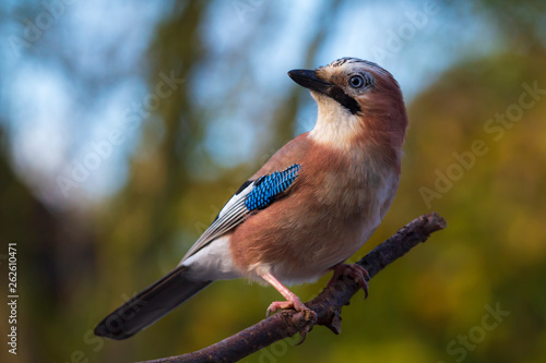 Eurasian jay bird (Garrulus glandarius) perched on a branch, Autumn colors Fototapet