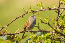 Dunnock Prunella Modularis Bird Singing During Springtime