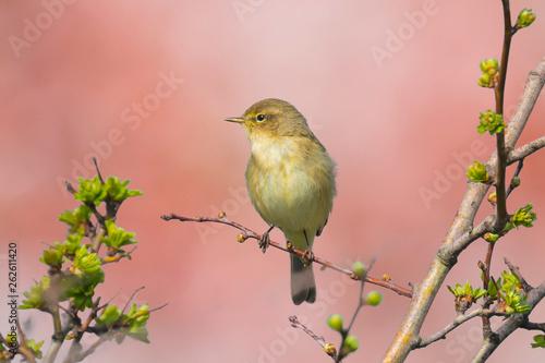 Fotomural Willow warbler bird, Phylloscopus trochilus, singing